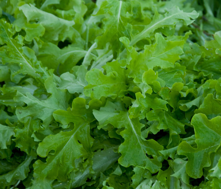 Lettuce - Salad Bowl - Green Vegetable Seeds - Grow Your ...